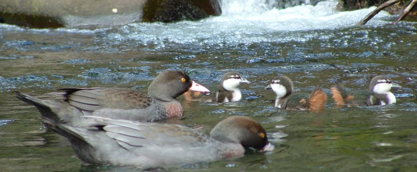 Whio pair with Ducklings on the Tongariro River